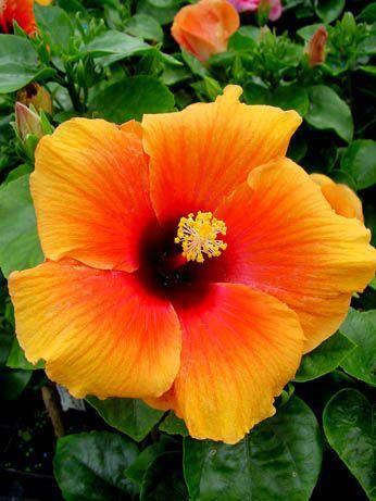 Hibiscus Eileen Mc Mullen Hibiscus Flores Bonitas Flores Exoticas Jardin De Flores