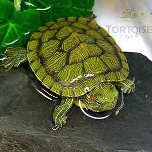 Red Eared Slider Turtle For Sale Baby Slider Turtles For Sale Online Buy Red Eared Slider Turtle For Sale Near Me Turtles For Sale Aquatic Turtles Slider Turtle
