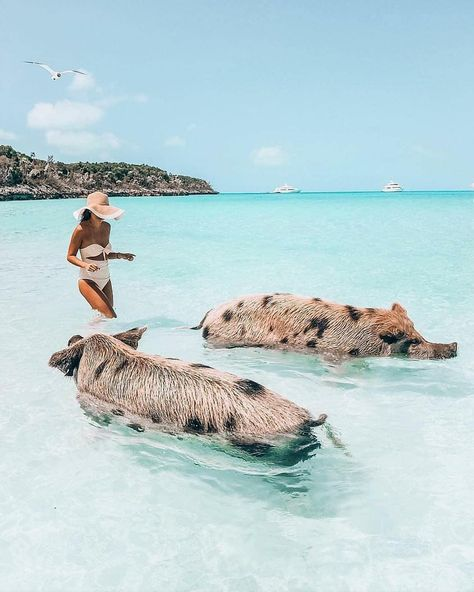 Pig Beach, The Bahamas - Wanderlust - Beach Aesthetic, Travel Aesthetic, Vacation Places, Dream Vacations, Bahamas Pictures, Swimming Pigs, Beach Vibes, Destination Voyage, Beautiful Places To Travel