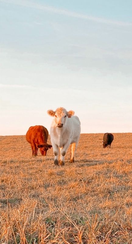 Pin By Raquel On Animals Fluffy Cows Cute Baby Cow Animals