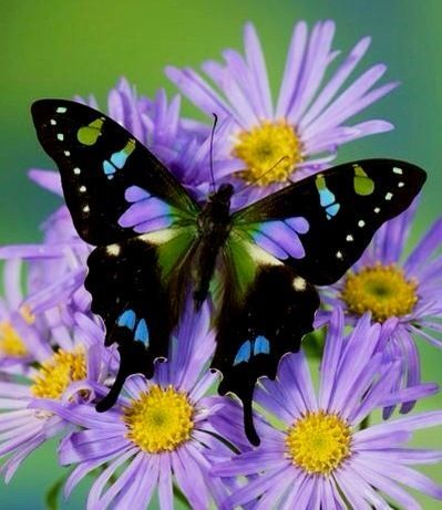 Image result for Purple Spotted Swallowtail