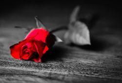 Gambar Bunga Rose Layu Fotografi Hitam Putih Bunga Gambar