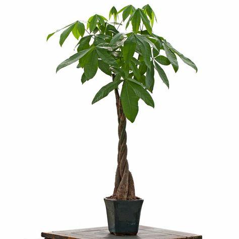 Easy Plants/® 1 x Money Tree Pachira Bonsai Indoor Plants in Ceramic Pot