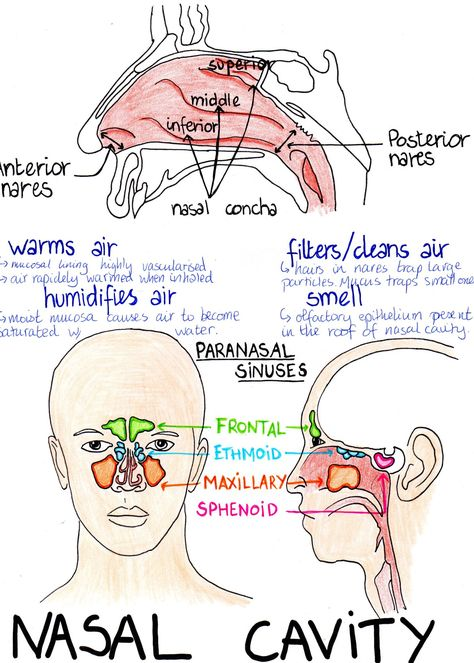 Respiratory Therapist School, Respiratory Therapy, Respiratory System Anatomy, Basic Anatomy And Physiology, Nursing School Notes, Ob Nursing, Nursing Schools, Anatomy Flashcards, Medical Anatomy