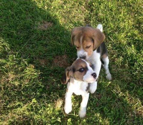 Beagle Puppies For Sale Adoption From Victoria Victoria Melbourne Metro Adpost Com Classifieds Australia 73018 Bea In 2020 Beagle Puppy Puppies For Sale Beagle