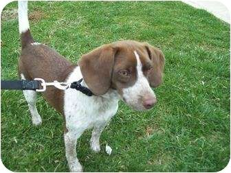 Boingle Beagle German Shorthaired Pointer Mix Info Puppies