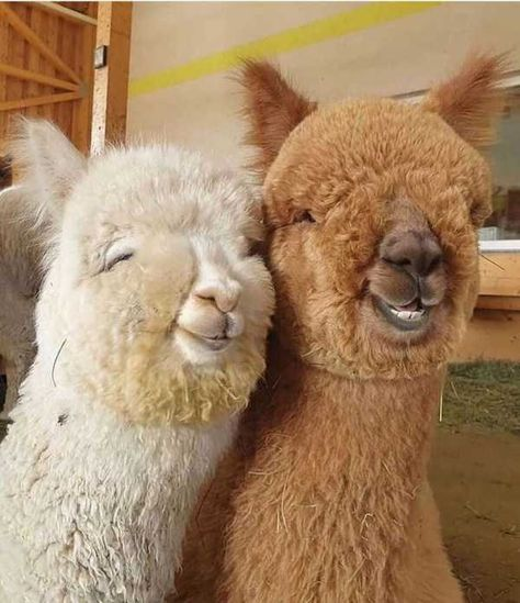 Cute Little Animals, Cute Funny Animals, Cute Dogs, Funny Looking Animals, Funny Animal Pictures, Funny Pics, So Cute Baby, Cute Babies, Alpacas