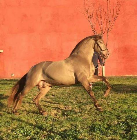 ALBERO LXXXVI. Ganadería Jesús Mancebo Hermana. Bleach Base Pearl Andalusian