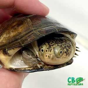 Aquatic Turtles For Sale Near Me Baby Turtles For Sale Online Water Turtles Turtles For Sale Turtle Aquatic Turtles
