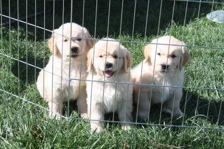 Toryglen In Carver Ma Golden Retrievers Golden Retriever Dog