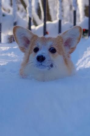 The Daily Corgi Hope You Re Doing Well From Your Friends At Phoenix Dog In Home Dog Training K9katelynn See More About Scottsdale Corgi Funny Corgi Cute Dogs