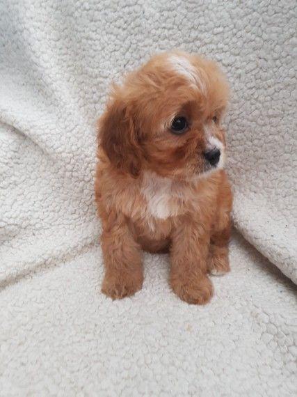 Toy Cavapoo Puppies Telford Shropshire Pets4homes
