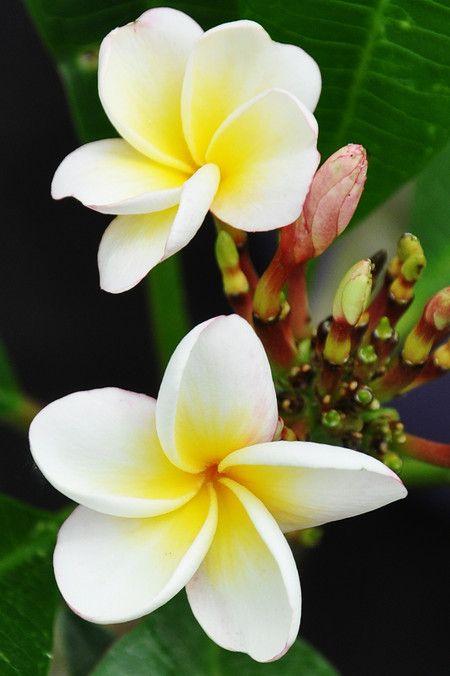 Der Tempelbaum Frangipani Mix Ist Hubsch Anzusehen Ihn Gibt Es Im Mein Schoner Garten Shop Kuebelpflanze Frangipani Meinsc Pflanzen Kubelpflanzen Garten