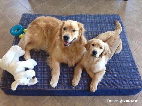Finn and Seamus love their #LLBean dog bed.  Photo via Twitter @ lynn2wine #LLBeanPets