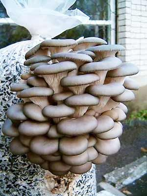 как правильно выращивать грибы вешенки