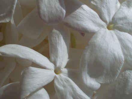 c3f2d77315a73558d5022f2a985746a1--le-jasmin-jasmine.jpg