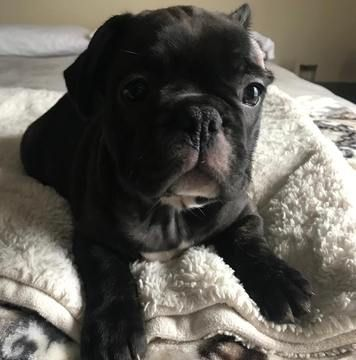 French Bulldog Puppy For Sale In Charleston Sc Adn 67107 On