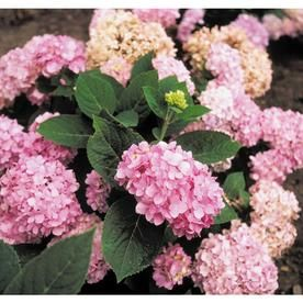 Prenial Flowering Plants Buying Guide At Lowes Com Search Results Flowering Shrubs Endless Summer Hydrangea Endless Summer Blue Hydrangea
