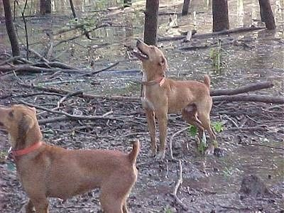 Two Tan With White Kemmer Stock Hybrid Squirrel Dogs Are Standing