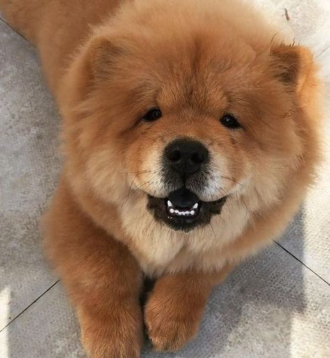 It S Seriously Some Intense Hatred Chow Chow Chow Chow Dogs Dogs