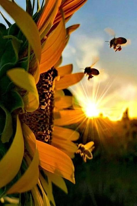 Sunflower Meaning;