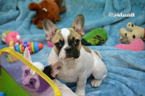 French Bulldog Puppies For Sale Little Rascals Pets Ltd French