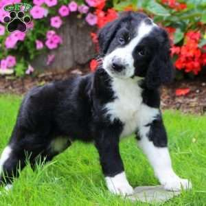 Greater Swiss Mountain Doodle Puppies For Sale Swiss
