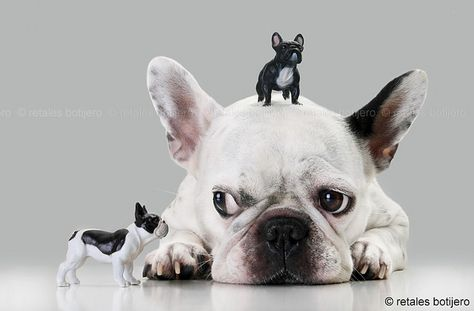 French Bulldog with Gulliver Syndrome o