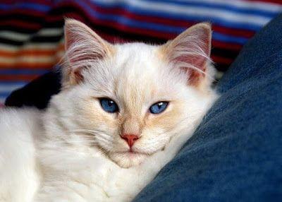ت ـــع ـــل م تفسير رؤية القطط في المنام Cat Breeds Cats I Love Cats