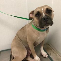 Lawrence Ks Boxer Meet Roxy A Pet For Adoption Cheap Pet