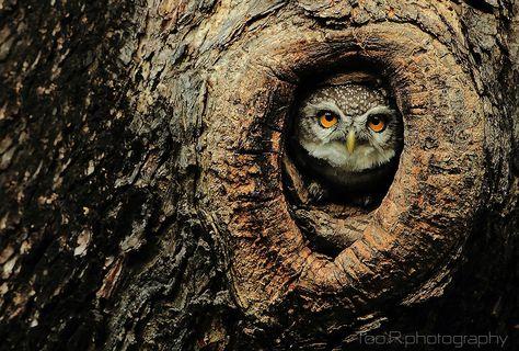 A moody spotted owlet at Chalermphrakiat Temple in Nonthaburi province near Bangkok.