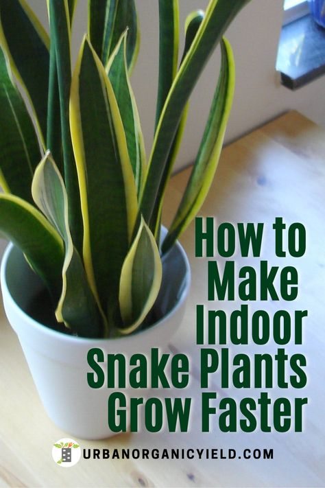 Best Indoor Plants, Indoor House Plants, Indoor Gardening, Gardening Tips, Water Plants, Garden Plants, Mother In Law Plant, Snake Plant Propagation, Plant Cuttings