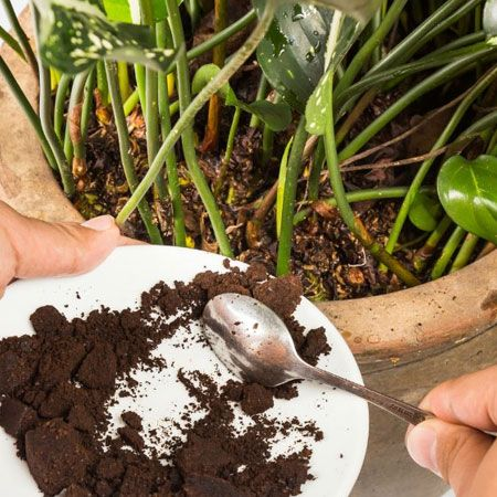 Use Coffee Grounds As A Fertiliser For All Your House Plants As An Organic Fe Planting Succulents Indoors Coffee Grounds As Fertilizer Uses For Coffee Grounds