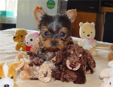 World You Can Browse Through Pictures Of Adorable Pups Looking For Love If Your Kid Wants A Playmate This Is In 2020 Yorkie Puppy Teacup Yorkie Puppy Puppy Adoption
