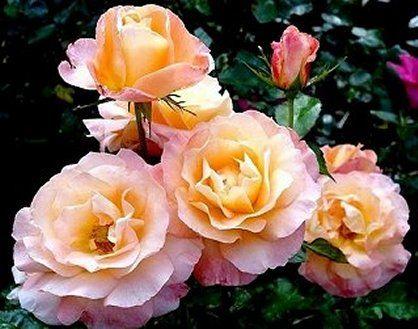 Jam And Jerusalem Roses Hybrid Tea Roses Floribunda Roses Rose