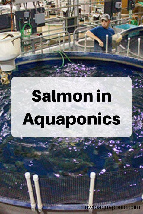 Salmon Aquaponics: Pro's, Cons, and Facts - HowtoAquaponic