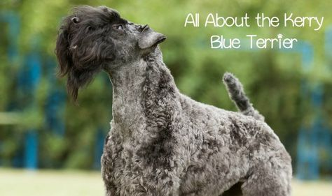 The Kerry Blue Terrier makes an excellent dog for the active family. Intelligence and affection of the Kerry Blue Terrier make him a great family dog.