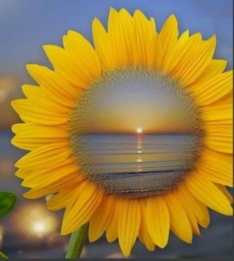 Thru the eye of a sunflower...