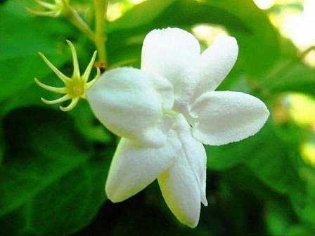 Paling Populer 30 Bunga Melati Berasal Dari Provinsi Melati Putih Tumbuh Di Pekarangan Dan Dapat Digunakan Sebagai Tanam Bunga Menggambar Bunga Bunga Teratai