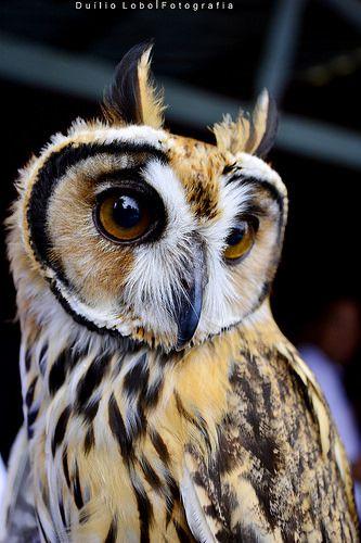 Striated Owl - Asio clamator Owl Drawings, Beautiful Owl, Animal Totems, Owl Art, Birds Of Prey, Woodland Animals, Love Birds, Beautiful Creatures, Pet Birds