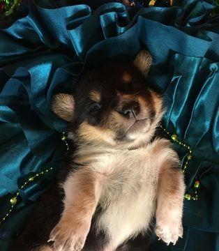 Litter Of 4 Cowboy Corgi Puppies For Sale In Bemidji Mn Adn 58800 On Puppyfinder Com Gender Male Age Cowboy Corgi Corgi Puppies For Sale Puppies For Sale