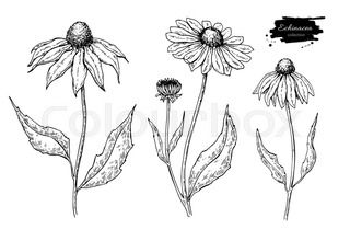 Image Result For Coneflower Drawing Flower Sketches Drawings Vector Drawing