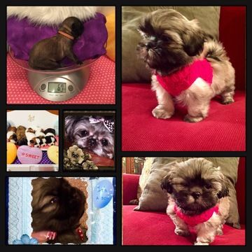 Litter Of 6 Shih Tzu Puppies For Sale In Port Orchard Wa Adn