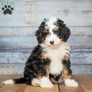 Mini Bernedoodle Puppies For Sale Bernedoodle Puppy Schnoodle
