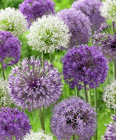 Loving This Allium Bulb Blend Set Of 12 On Zulily Zulilyfinds Bulbos De Flor Flores Allium Plantacion De Bulbos