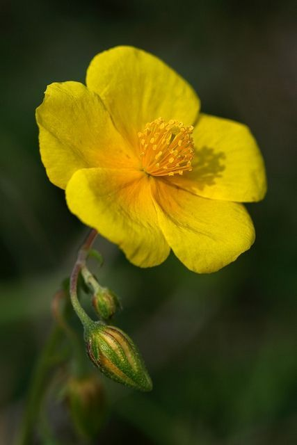 Common Rock Rose Bach Flowers Rock Rose Beautiful Flowers