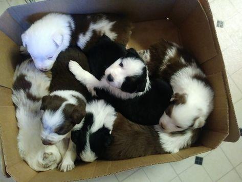 Australian Shepherd Puppy For Sale In High Point Nc Adn 58435 On Puppyfinder Com Gende Australian Shepherd Puppy Australian Shepherd Puppies Puppies For Sale