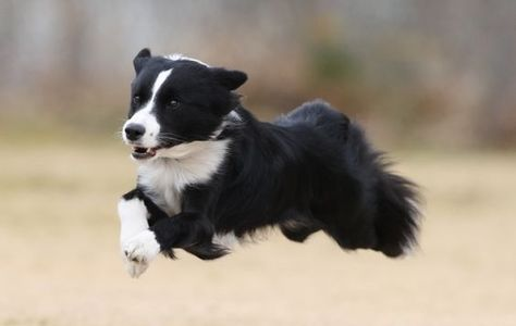 19 Border Collies That Will Happily Go On A Run Collie Dog Collie Collie Puppies
