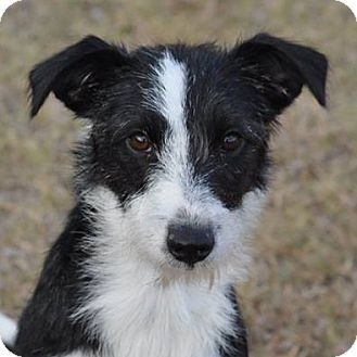 Buffy Adopted Puppy 530 Garland Tx Border Collie Jack Border Terrier Puppy Puppies Border Collie