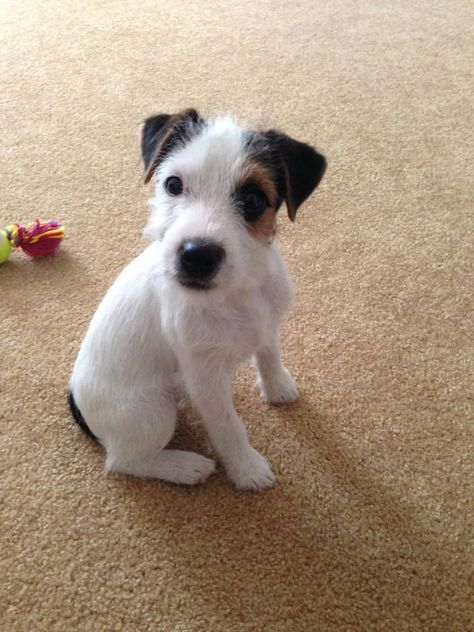 Image result for wire hair jack russell terrier